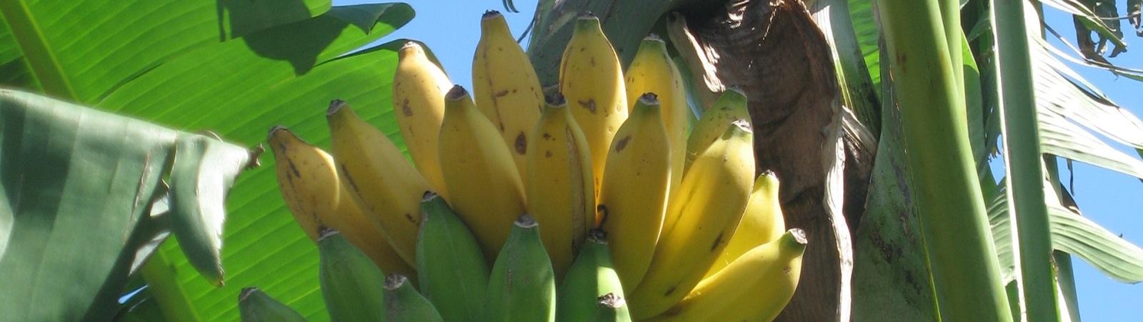 NO GMO BANANA CAMPAIGN –