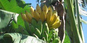 No Gmo Banana Campaign