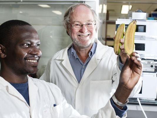 Ugandan researcher Stephen Buah, left, and Australian scientist James Dale show bananas that were altered to produce more beta carotene, which turns into vitamin A after people eat it. (Photo: Queensland University of Technology/Special to the Register)