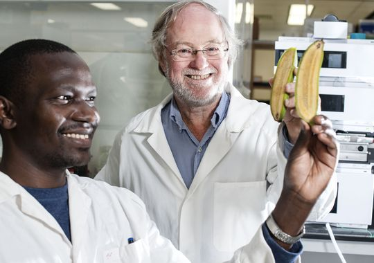 Ugandan researcher Stephen Buah, left, and Australian scientist James Dale show bananas that were altered to produce more beta carotene, which turns into vitamin A after people eat it.(Photo: Queensland University of Technology/Special to the Register)