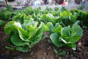 Lettuce growing in Damascus. Across Syria, citizens under siege have turned to gardens to help them survive. Lens Young Yeldani
