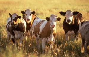10201-cows-in-a-field-pv_jpg