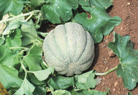 Indian melon (Photo: Seth Vidal)