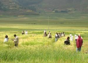 Wheat-Breeding3-300x215