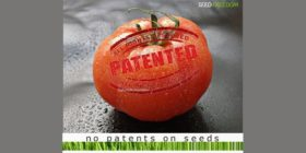 Media Release: Mobilisation for start of mass opposition against patent on tomatoes