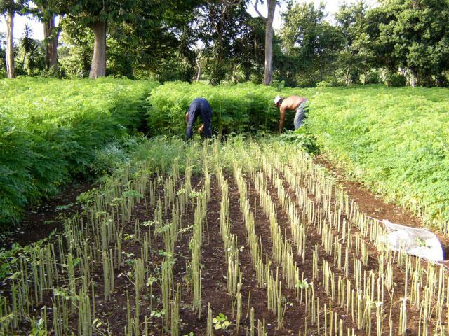 Moringa-harvesting