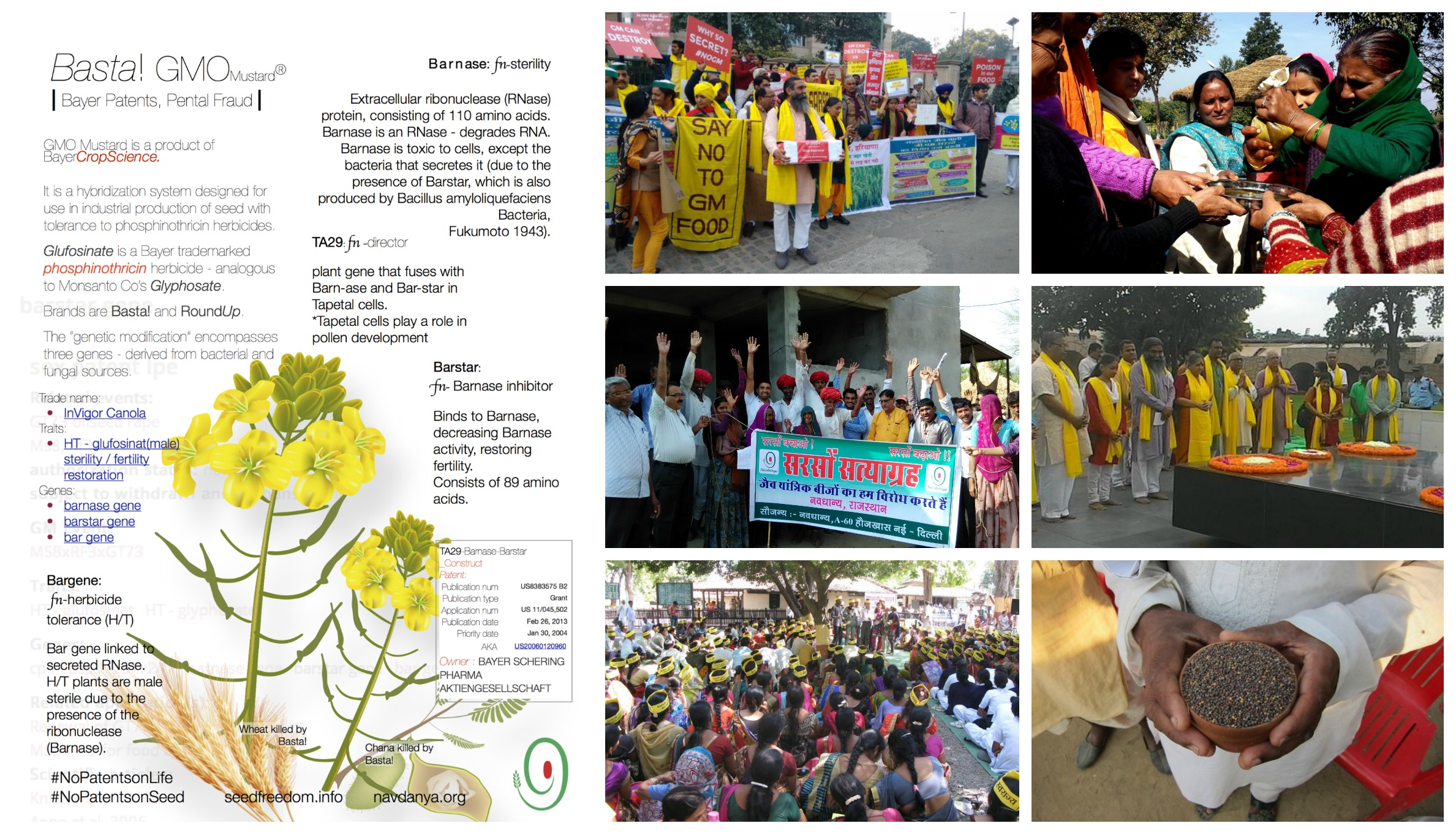 Collage - India GM Mustard