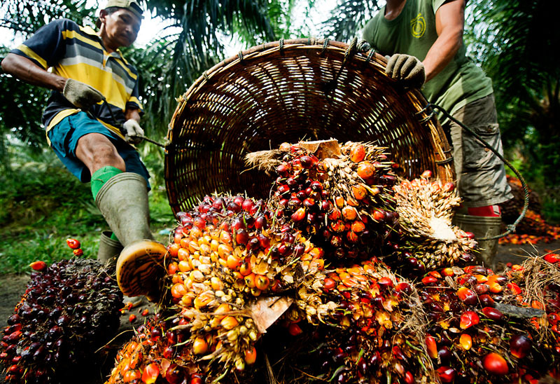 Palm fruit, having been harvested is piled up in order to be weighed.
