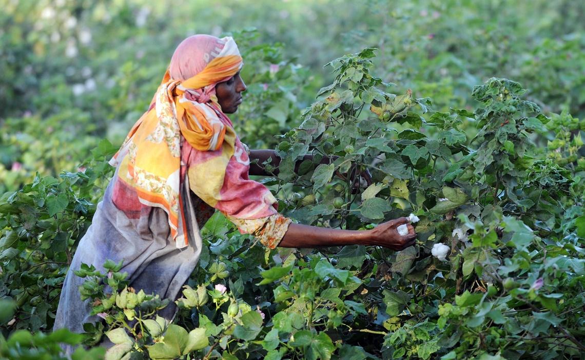 coltivazione-cotone